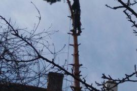Postupné kácení borovice – Poděbrady